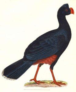Alagoas curassow (Mitu mitu)