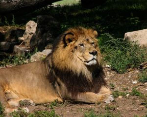Barbary lion (Panthera leo leo)
