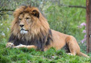 Panthera leo leo in lev berberský v plzeňské zoo
