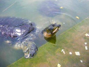 Black softshell turtle (Nilssonia nigricans)