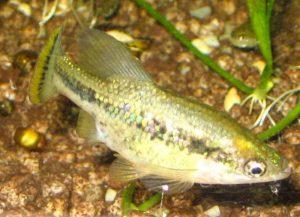 Butterfly splitfin (Ameca splendens)