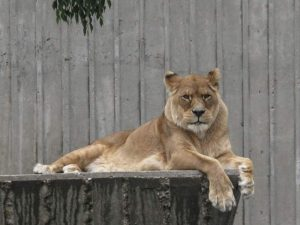 Female Barbary lion
