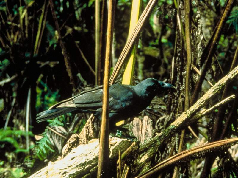 Hawaiian crow Corvus hawaiiensis