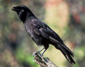 Hawaiian crow Corvus hawaiiensis