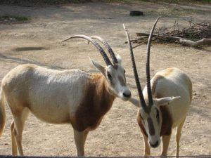 Scimitar oryx (Oryx dammah)