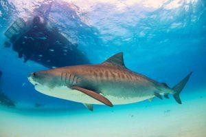 Tiger shark (Galeocerdo cuvier)