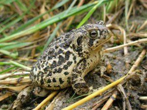 Wyoming toad - Anaxyrus baxteri